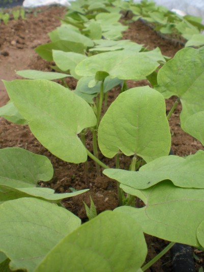 bush bean (2)